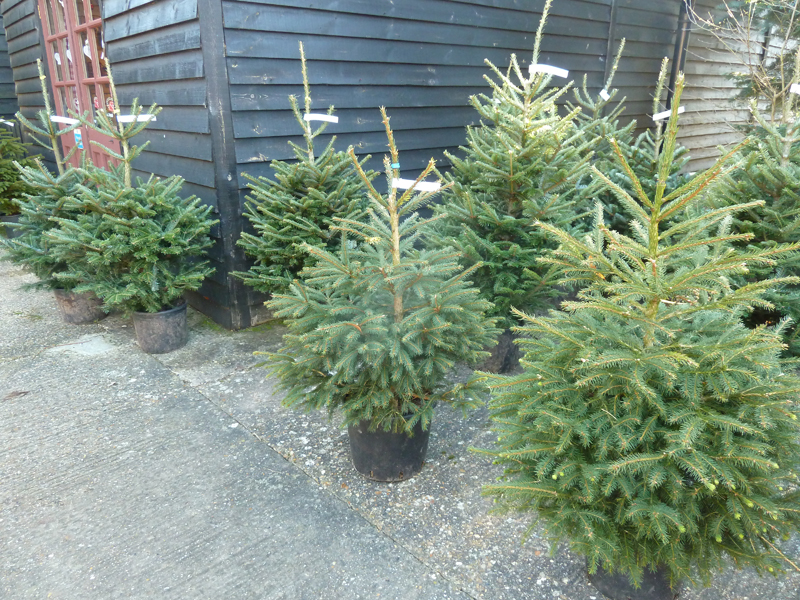 container grown nordmann fir christmas trees