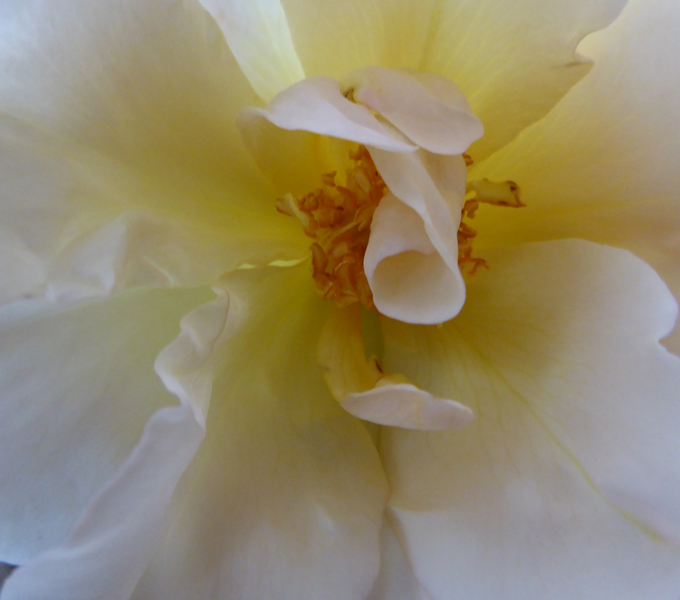 tostock-yellow-rose-1