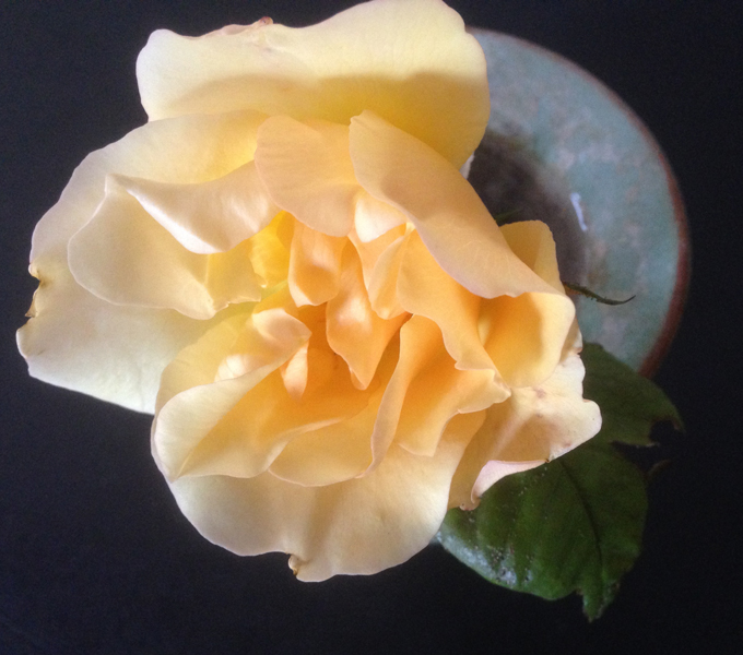 tostock yellow rose
