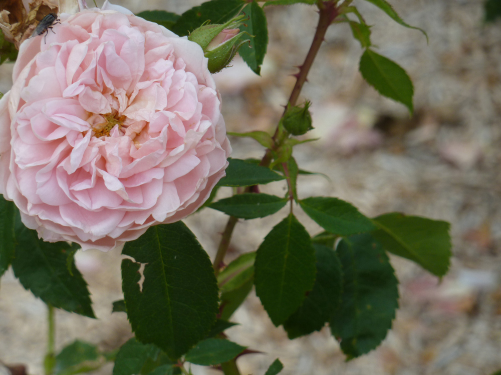 Rosa 'Colette' created in 1995 by Meilland thrives in this garden.