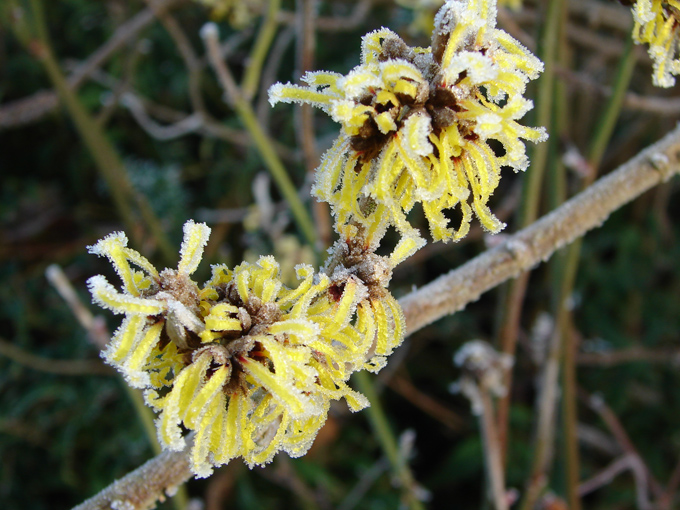 Frosted flowers of witch hazel.