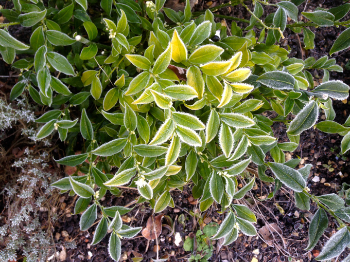 Frost on the foliage of Sarcococca confusa.