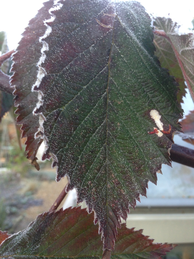 Frosted leaf of a thornless, cultivated blackberry.