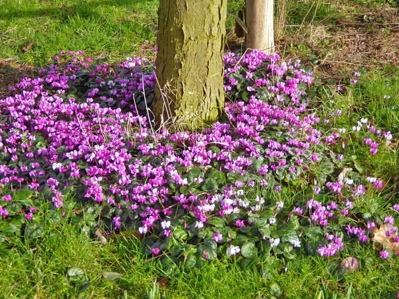 The magenta-pink flowers of Cyclamen coum