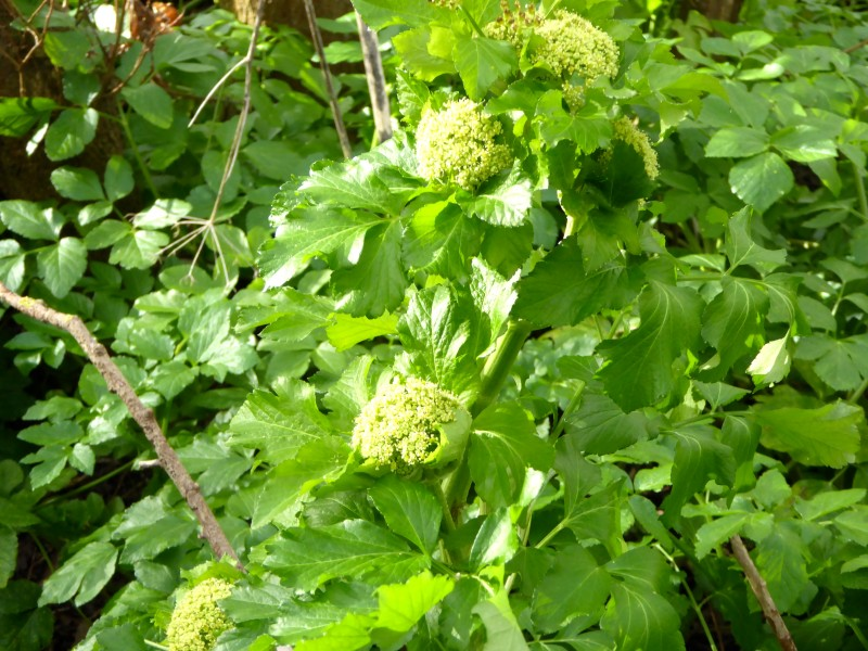 The flower buds of alexanders are also edible.