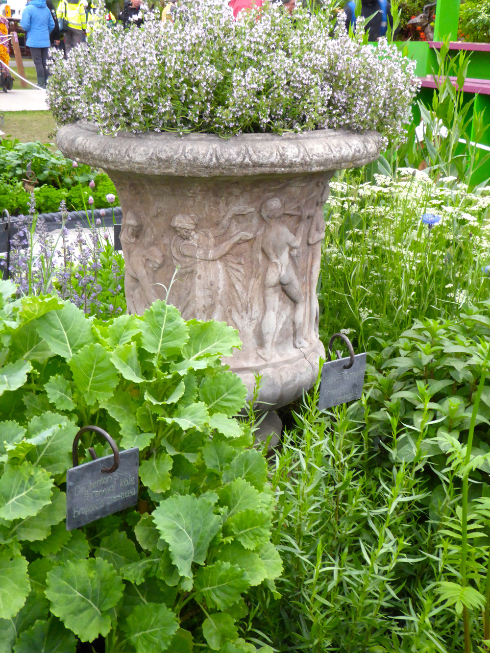 Daubenton's kale and thyme growing in a stone urn.