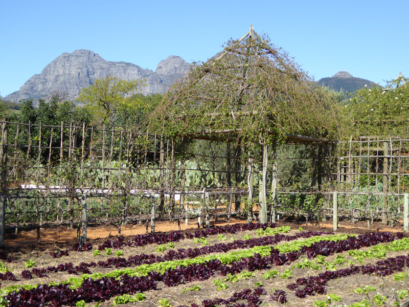 lettuce rows in south africa