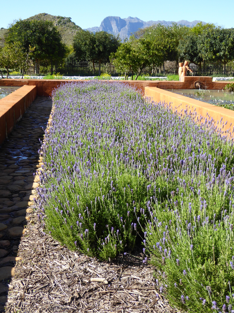 lavender beds in babylonstoren
