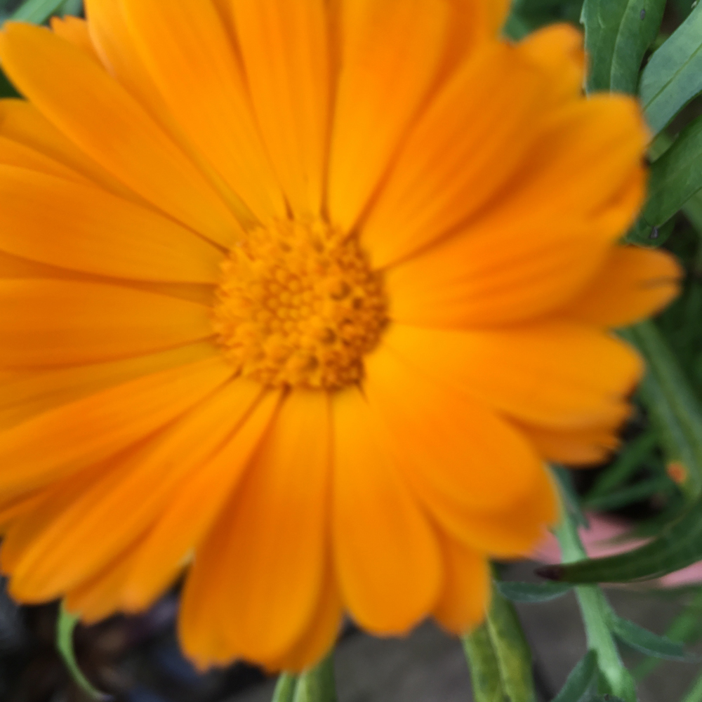 Calendula officinalis in bloom on Boxing Day in Suffolk.