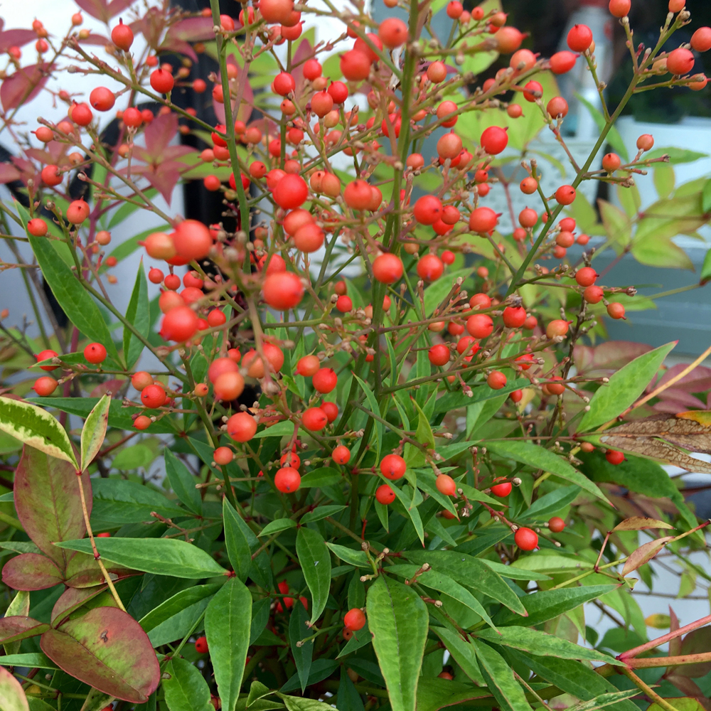 Nandina domestica berries brighten the season, especially since the pigeons completely wiped out the holly berries by early November!