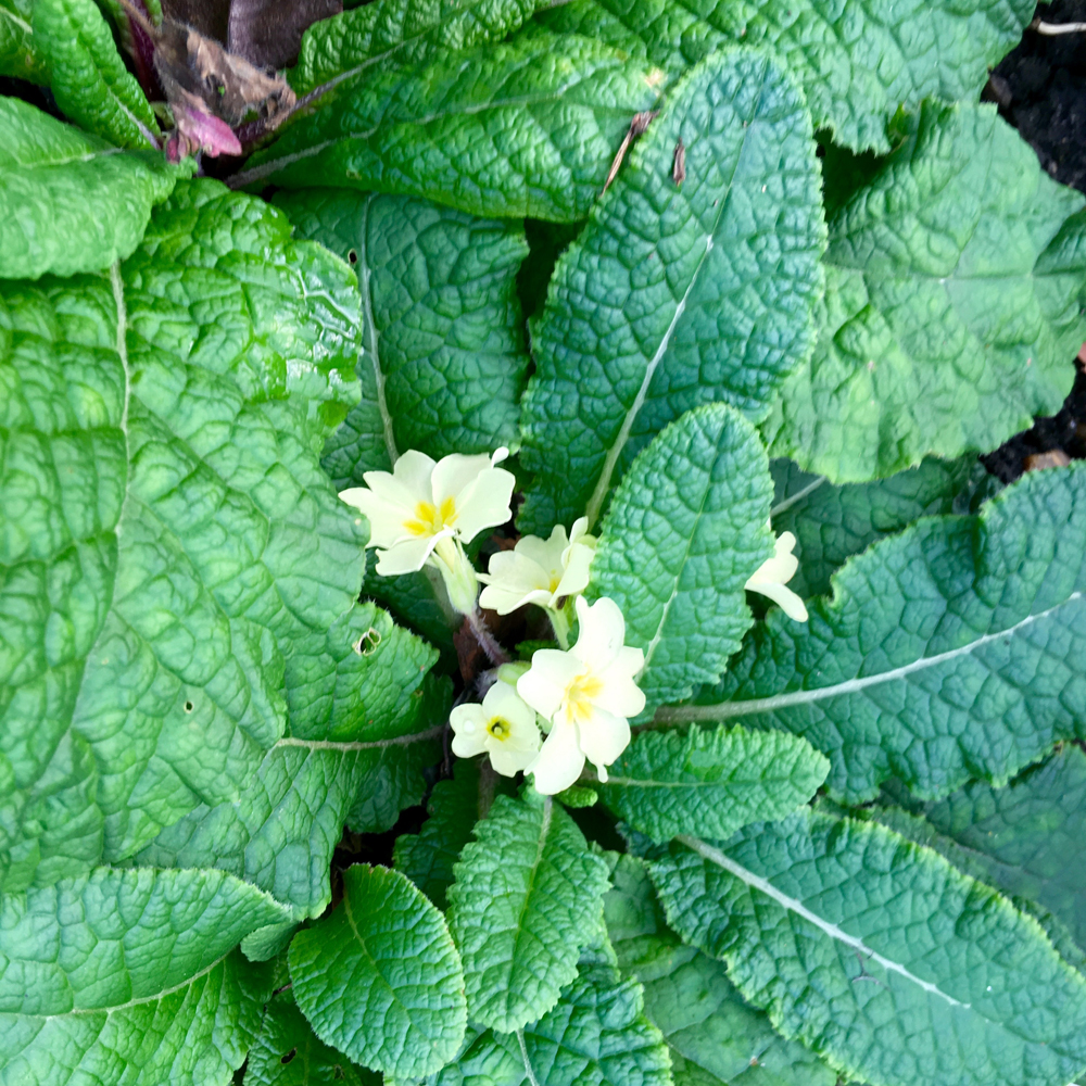 Yellow primroses... so can spring be far behind?
