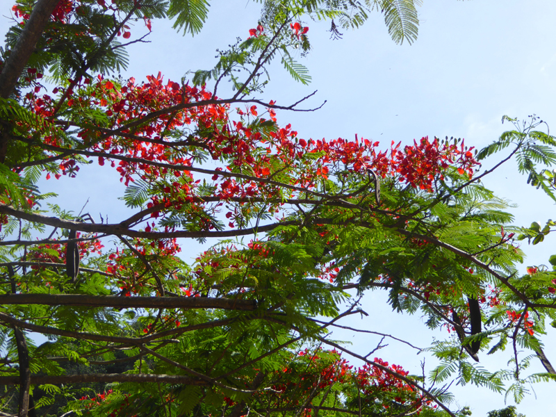 The bright red flowers of the flamboyant (in Brazil) took me back to the street trees of my home town Durban.