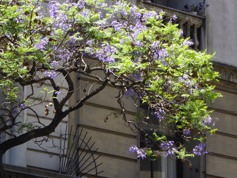Jacaranda trees offer shade and floral colour to streets and buildings in Buenos Aires in midsummer.