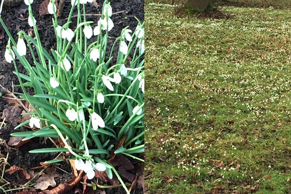 snowdrops at Hodsock Priory