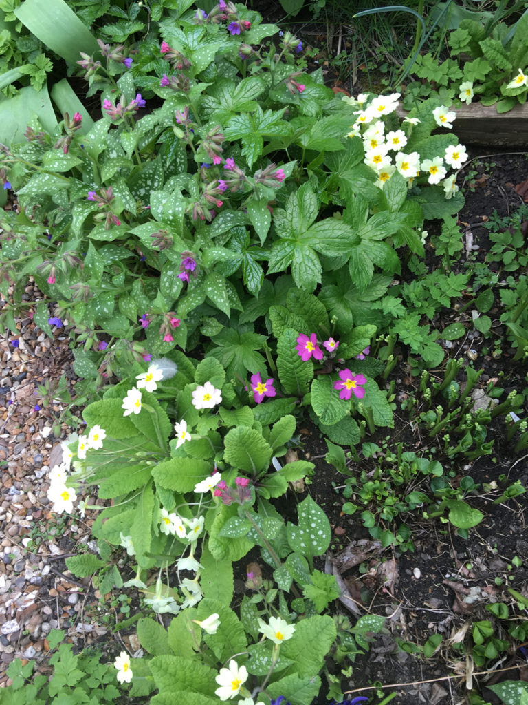 pulmonaria and primroses growing