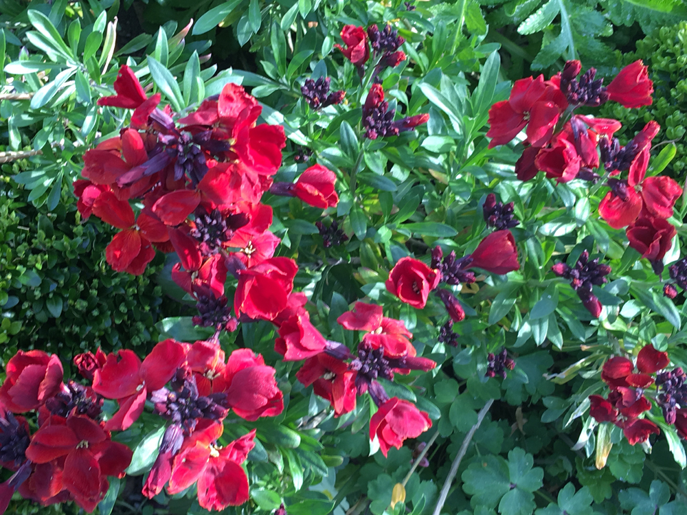 wallflowers in the garden