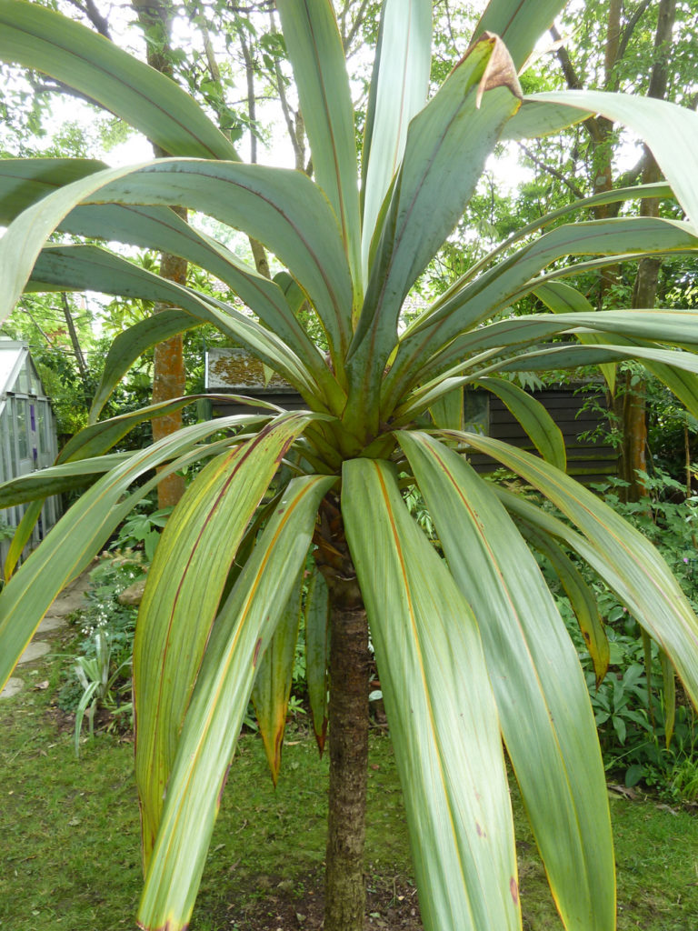 Cordyline indivisa (mountain cabbage tree)
