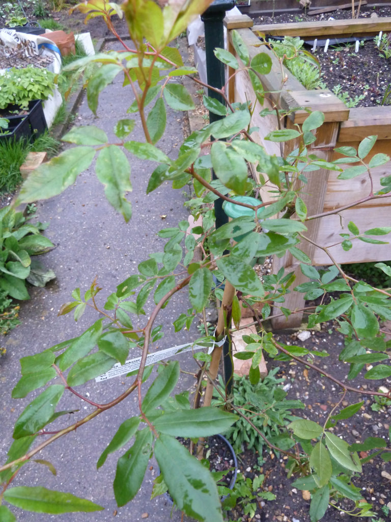 Supports for Rosa banksiae 'Lutea'