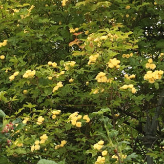 Rosa banksiae 'Lutea' in flower