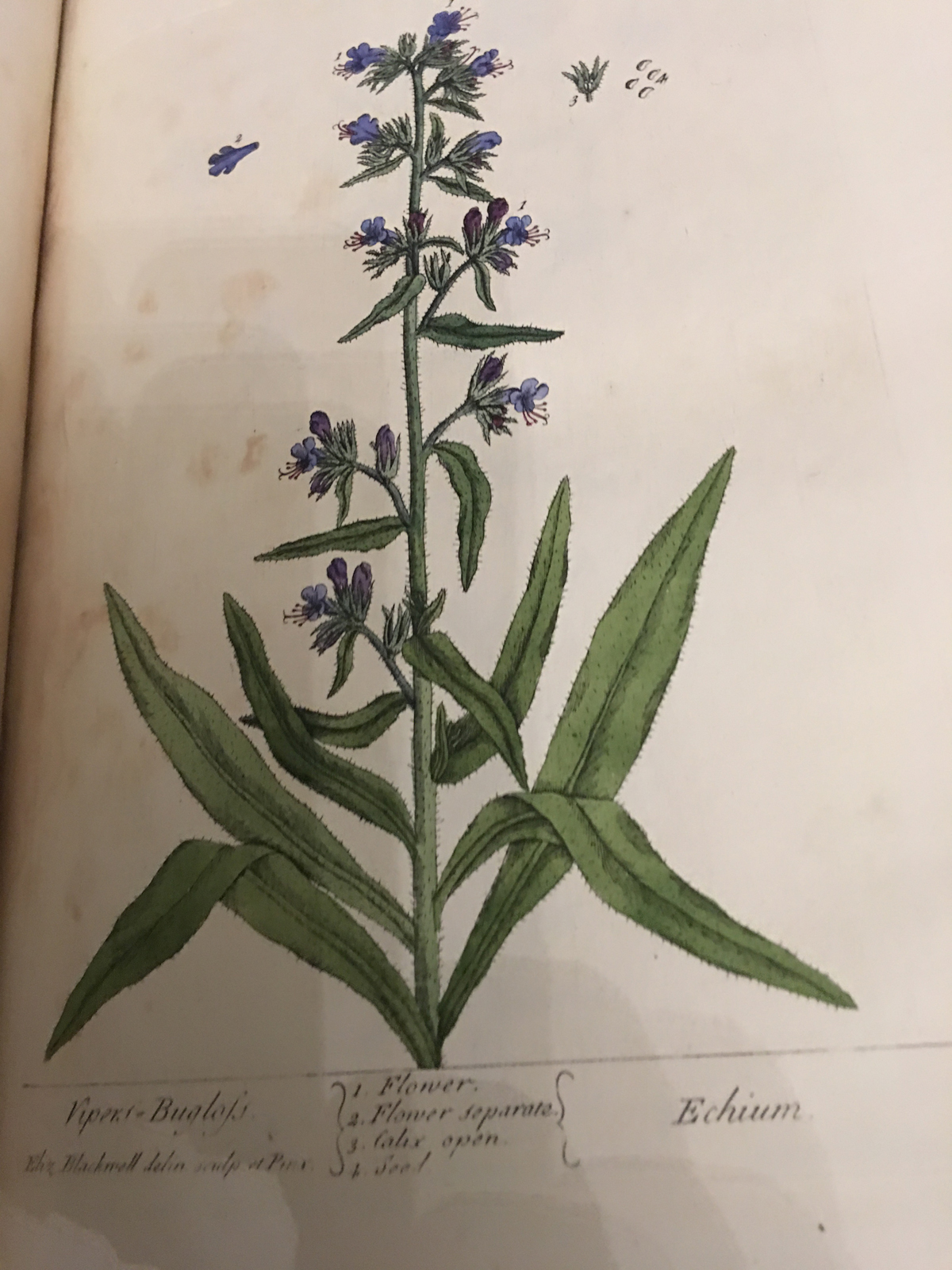 echium from elizabeth blackwell's a curious herbal