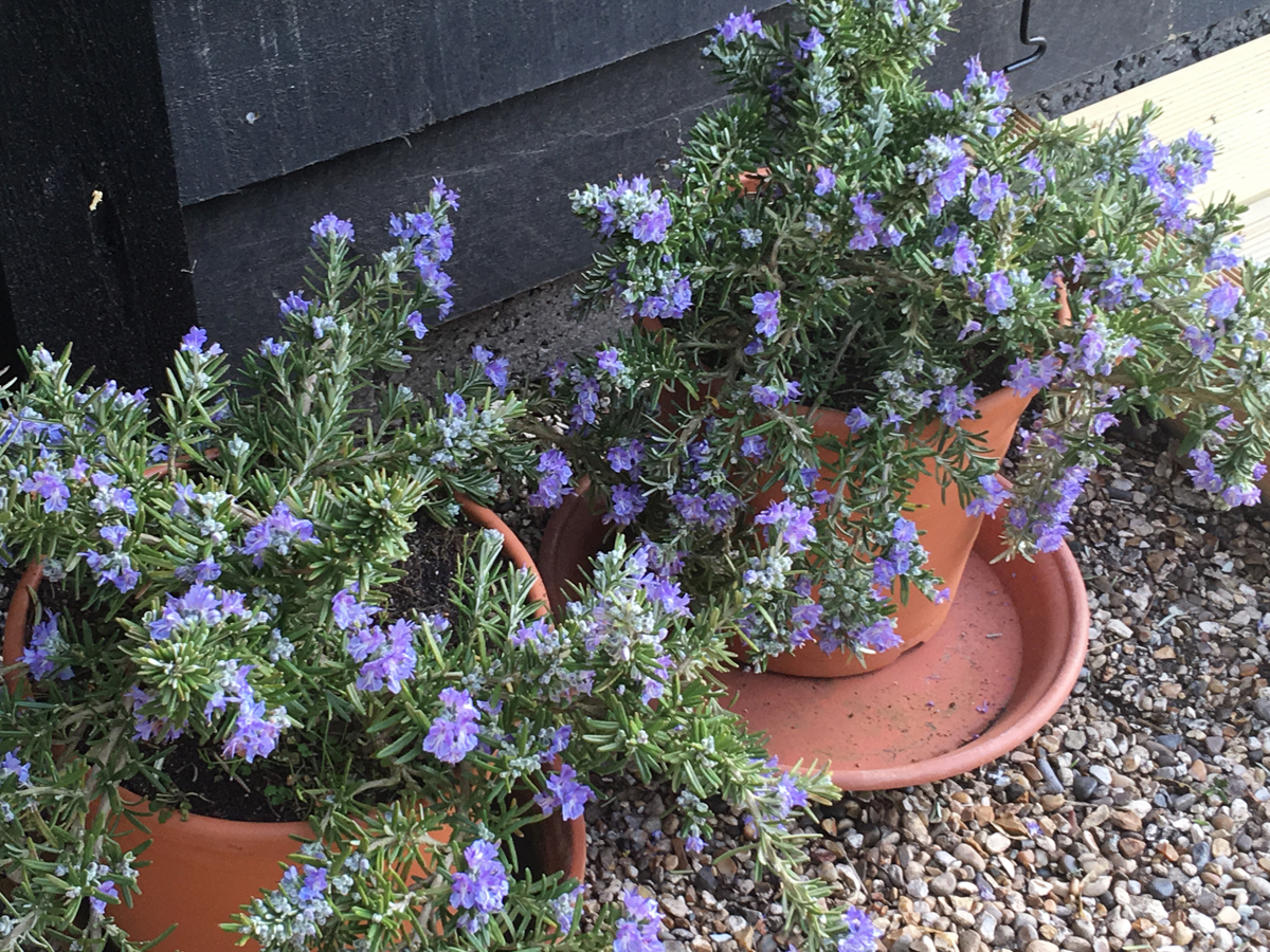 Whitewater Silver rosemary