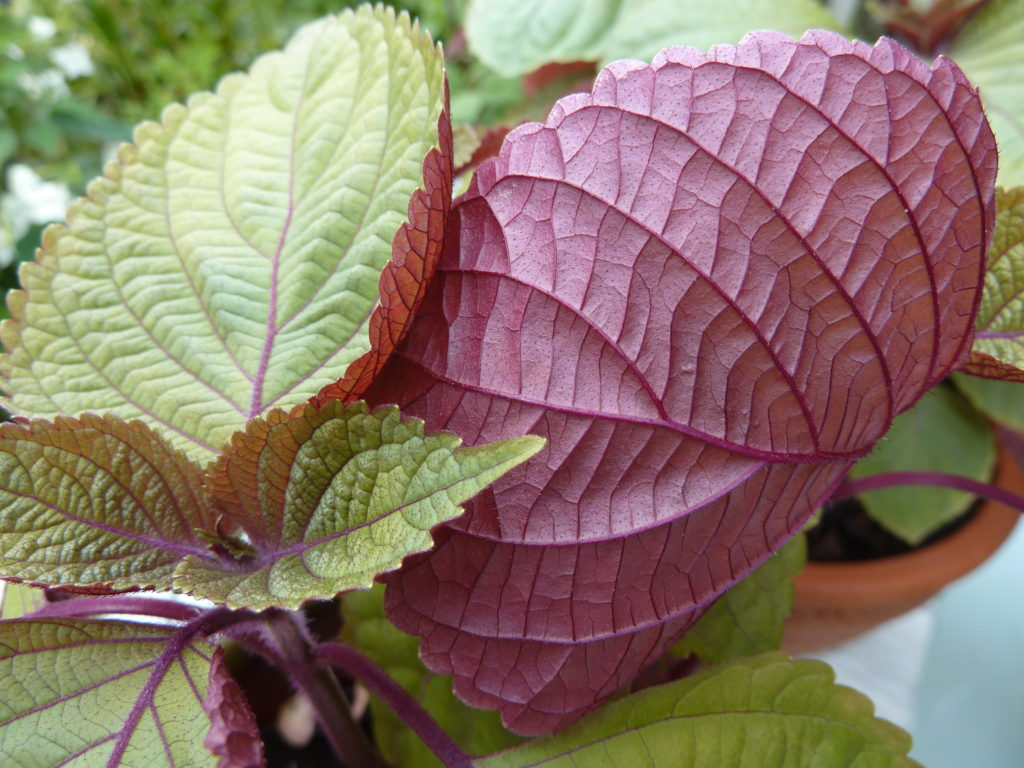 Perilla or shiso foliage