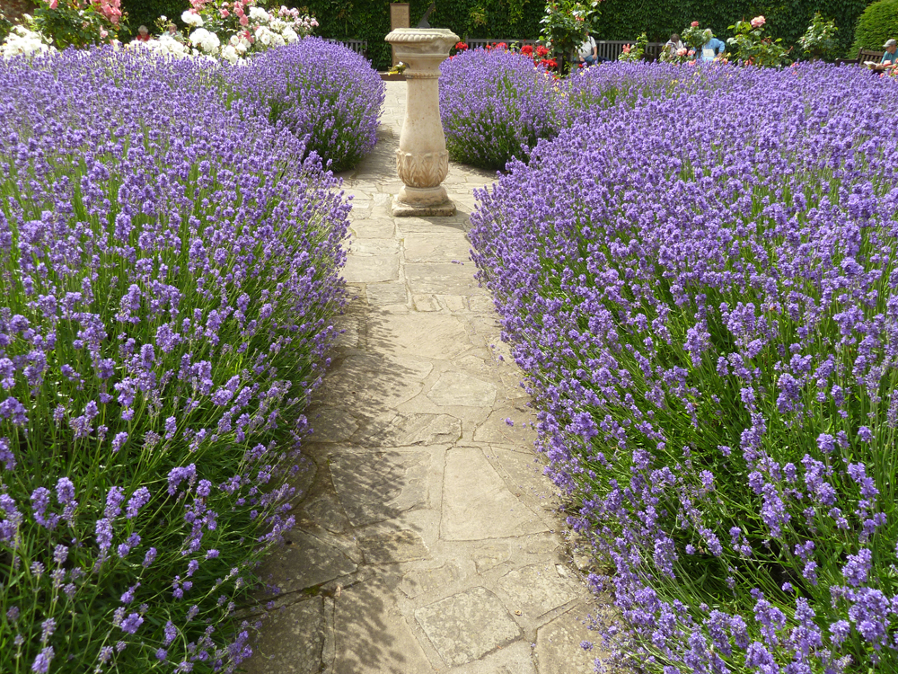 lavender used to line a path