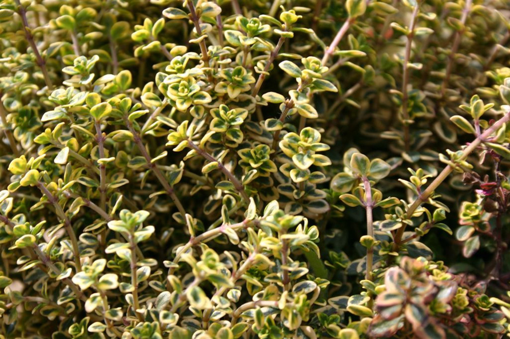 Seed Suffolk Herbs Garden Seeds Pack Thyme Thymus Vulgaris