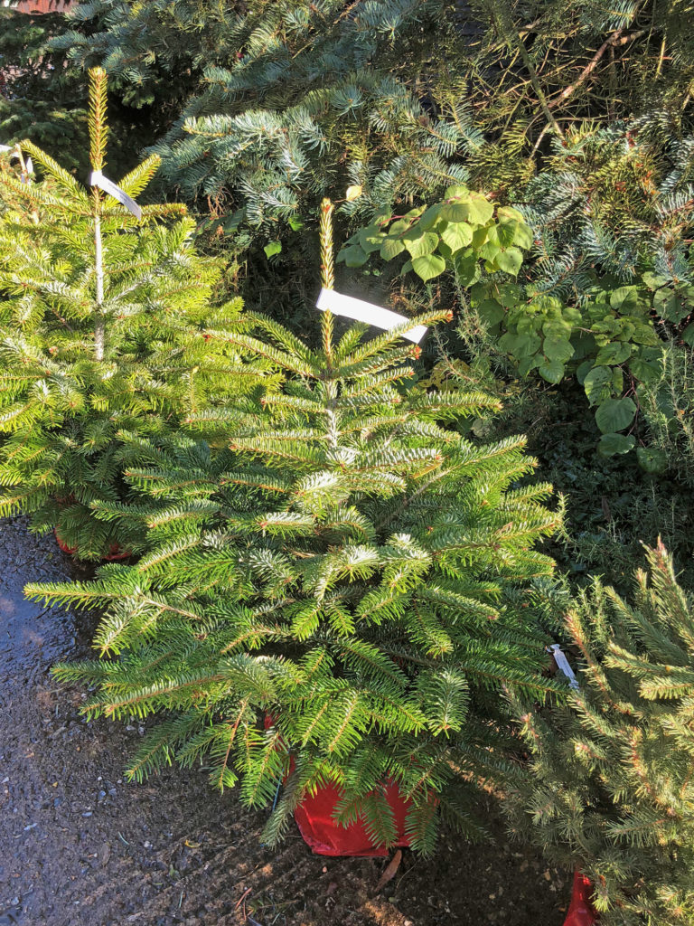 nordman firs for sale at Blackthorpe Barn