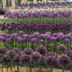 alliums at chelsea flower show