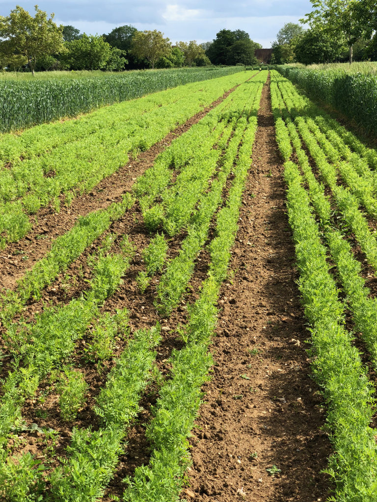 Rows of crops in the field system at Wakelyns Farm
