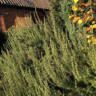 rosemary shrub